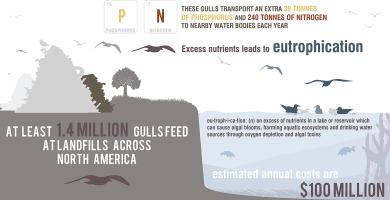 gulls infograph.jpg