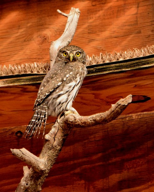 An adult Northern Pygmy-Owl that had crashed into a window. Here it is in the flight cage exercising prior to its release.