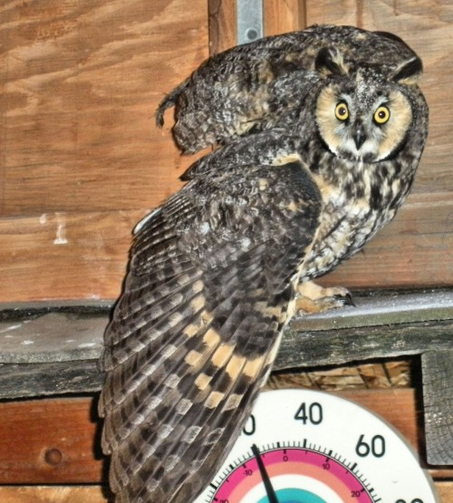 An adult Long-eared Owl that flew into a window at night. Nocturnal birds crash into windows at night just like daytime birds crash into windows during the day.