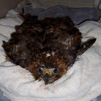 This Red-tailed Hawk was hit by a car. The bird had a concussion and needed some time to recover.