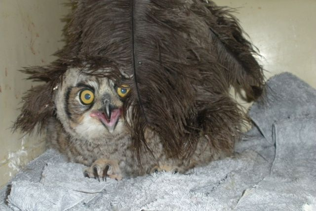 A nestling Great Horned Owl. The bird's nest was too high to for the owlet to be placed back into. The feather duster is to mimic the feel of its mother.