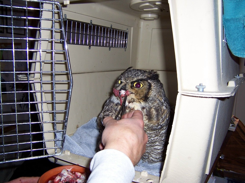 An Adult Great Horned Owl being hand fed after it was hit by a car. This bird was too sore to feed itself, so we cut its food into small pieces and fed him with a forceps.