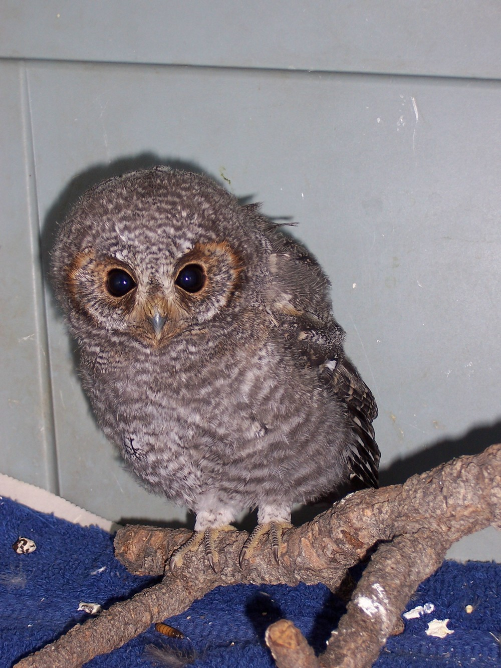 This Flammulated Owl was found on the ground and was raised by CARRI volunteers and released in the fall prior to its migration to Mexico.