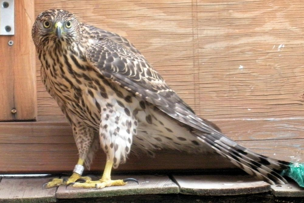 This juvenile Northern Goshawk had crashed into a window at the local library. Here she is in our flight cage prior to being released.