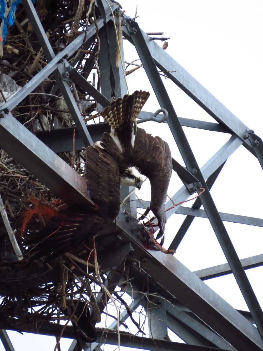 On May 6th 2015, we received a call about an Osprey hanging from the framework of the Estes Park Power plant.