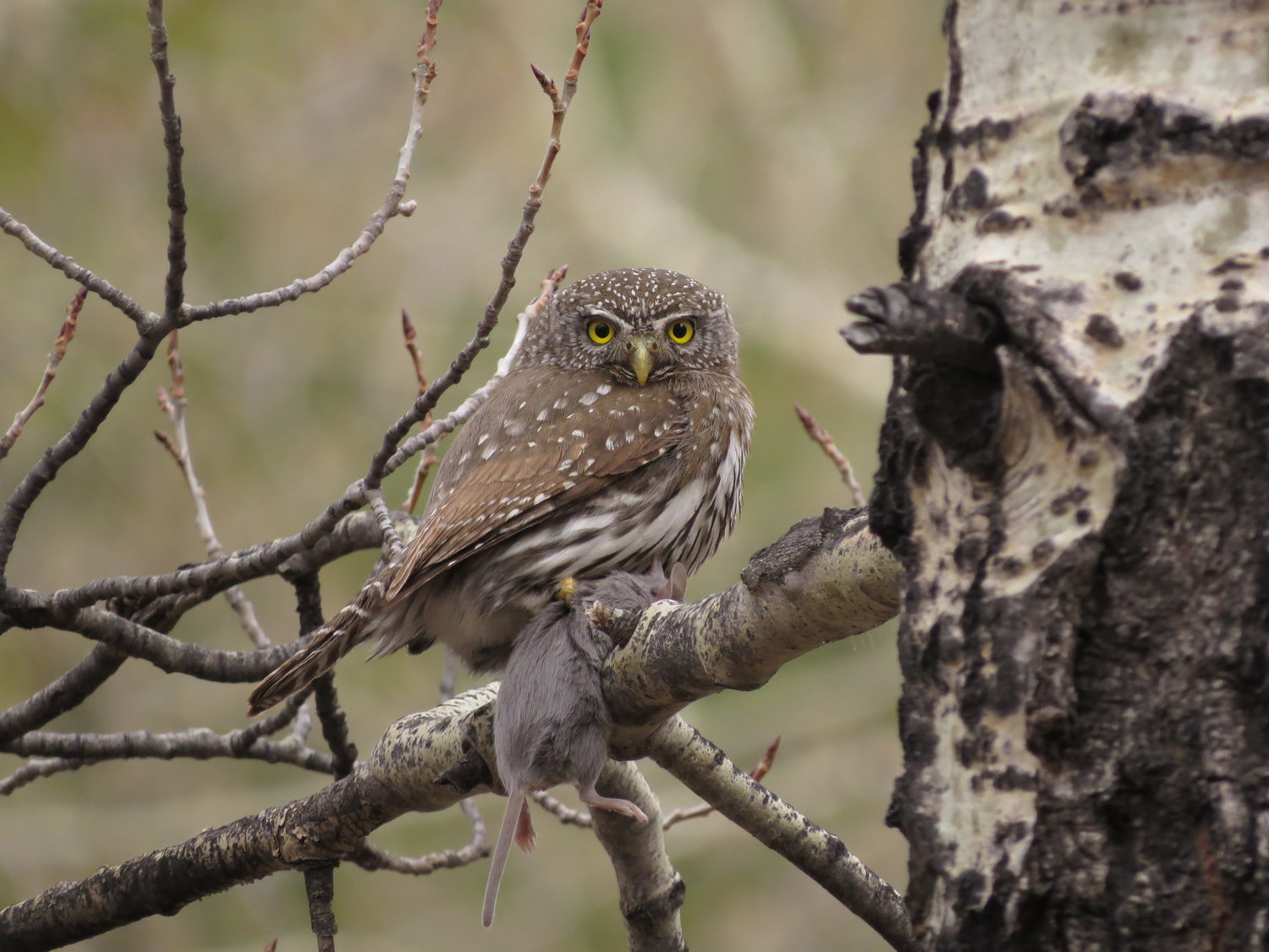 northern pygmy owl research - Picture Of Owl