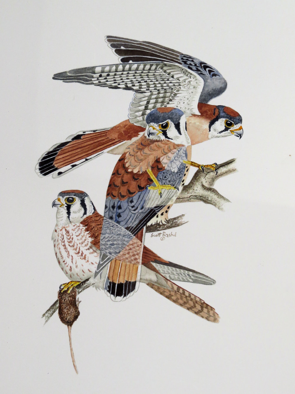 Prints of this American Kestrel Painting are now available for sale - If you are interested in a print of this; Click HereIf interested in the original Click Here