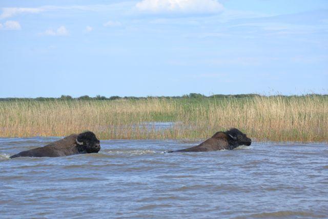 2 bison lk claire.jpg