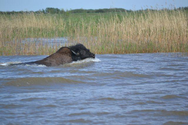 bison good.jpg