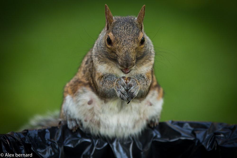 J'ai appris hier que les #écureuils de #Montréal n'étaient pas très peureux. Celui-ci trônait fièrement sur une poubelle du parc #LaFontaine après avoir repoussé de nombreux assaillants. Il dégustait avec fierté les trésors que contenait son nouveau royaume.