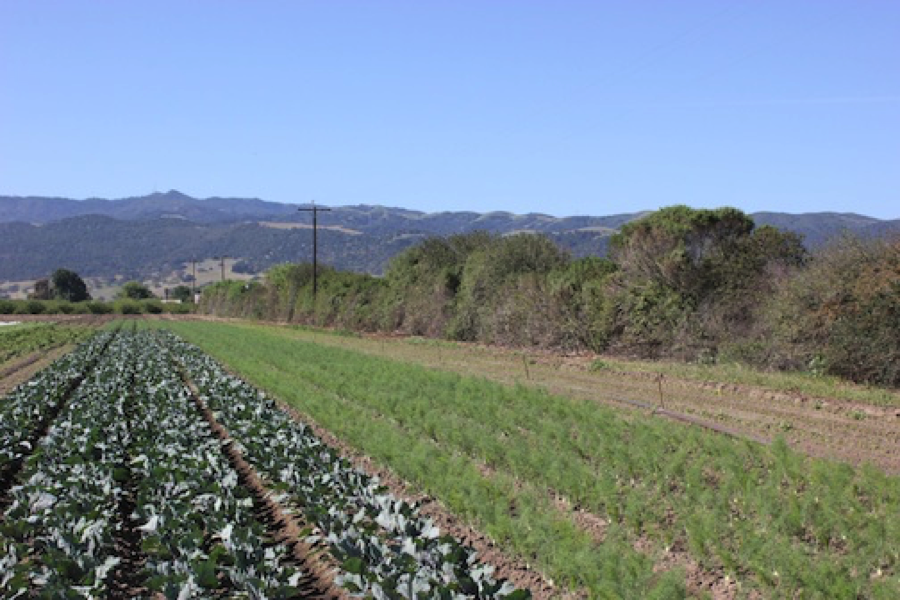 Native plant hedgerow on Central Coast vegetable farm