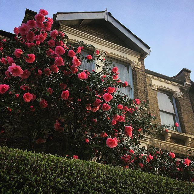 #spring #blossom #bush #pink #flowers #london #house #garden #uk