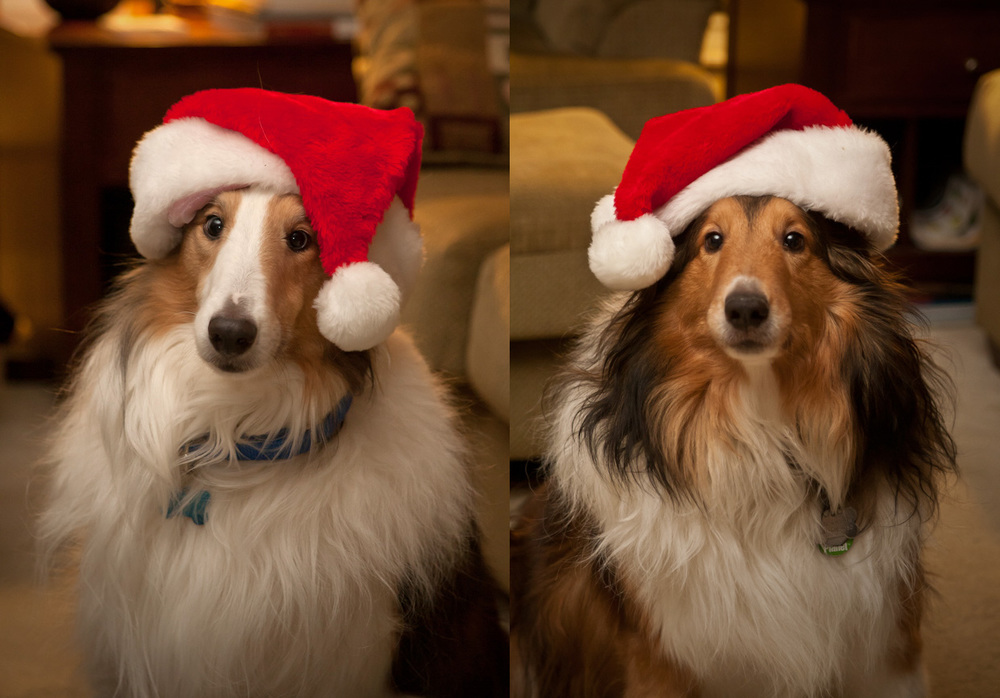 Christmas_Shelties_2011
