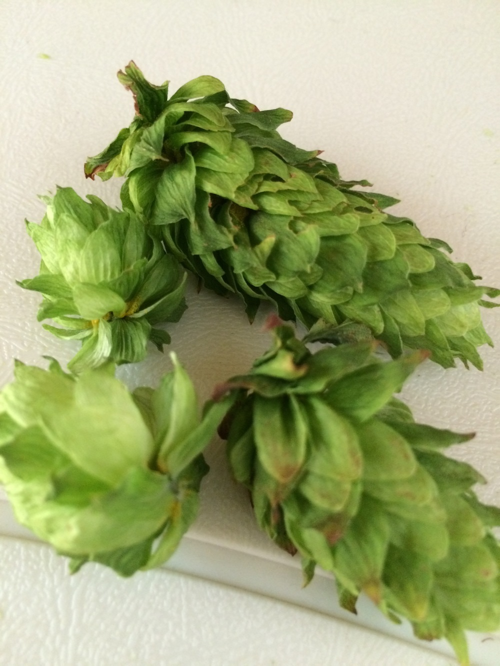 Detail of dried hops