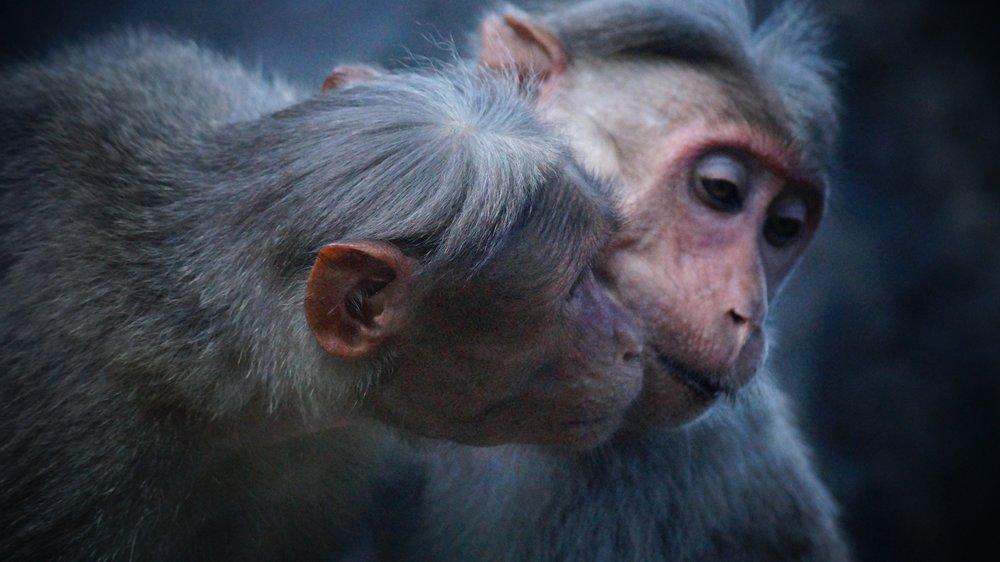 Monkeys_selvan-tamilmani-100126 (1).jpg