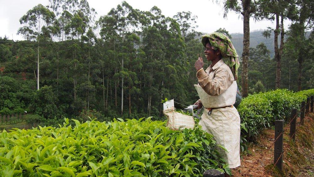 tea-plantation-1910715_1920.jpg