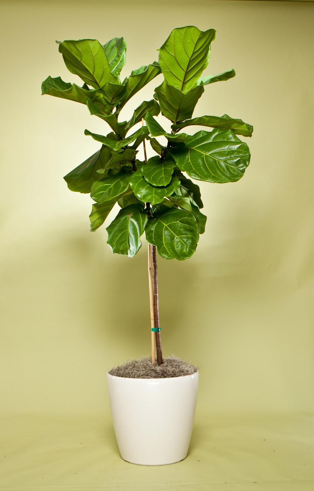 Ficus Lyrata Standard