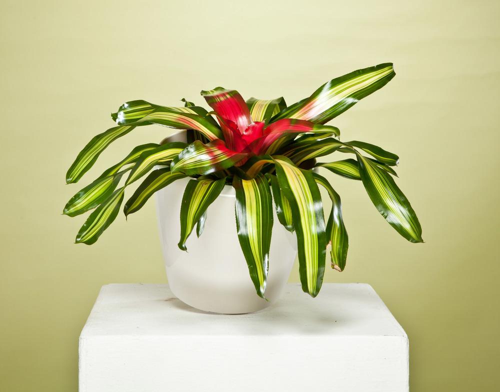 Flat Bromeliad