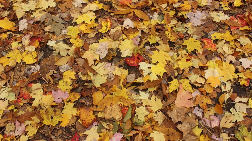Fall Leaves - Upstate NY