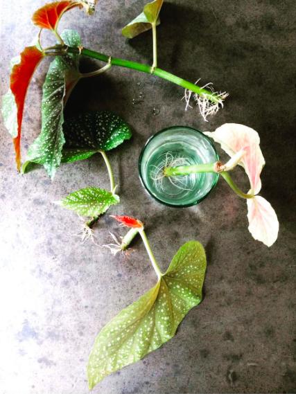 Begonia in water