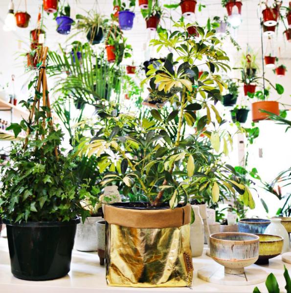 Variegated Umbrella Plant