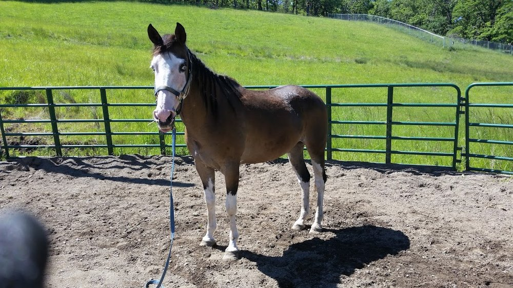 AFTER: Pansy in 2018. She has gained weight and received medical and dental care, farrier work, and overcome some of her emotional trauma related to being handled by people (but that's still a work in progress!)
