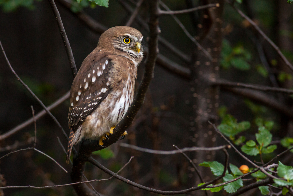 Pygmy Owl in Chilean Patagonia
