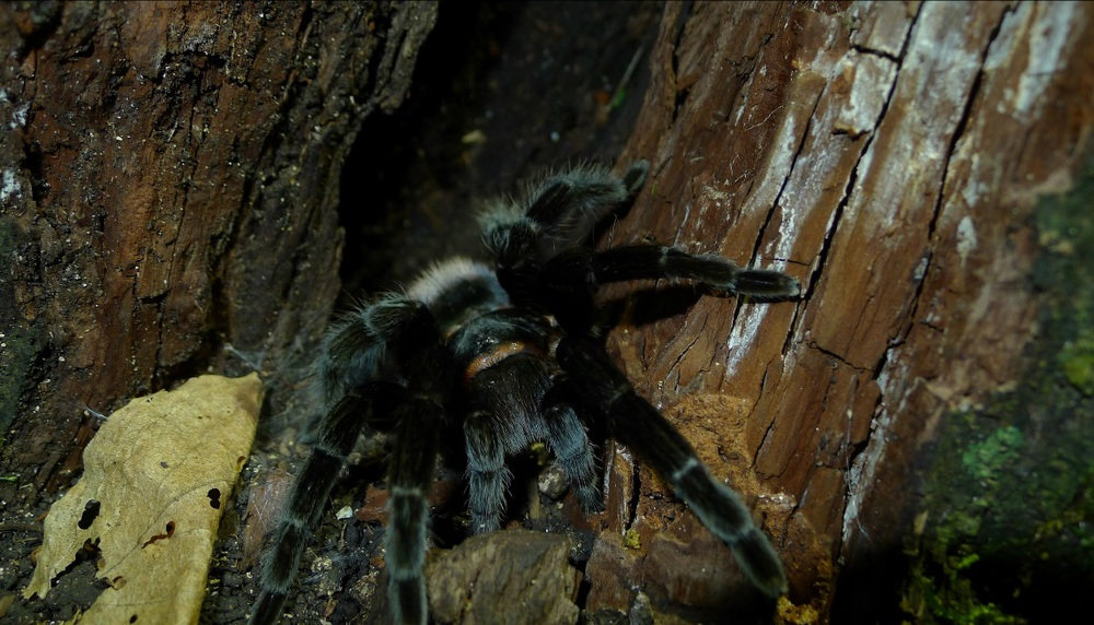 Tarantula in the Guatemalan rainforest