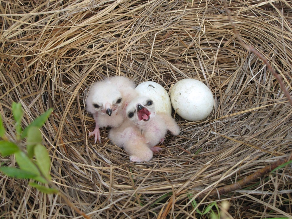 Newly hatched chicks, Northern Harriers, which, unlike many raptors, nest on the ground.