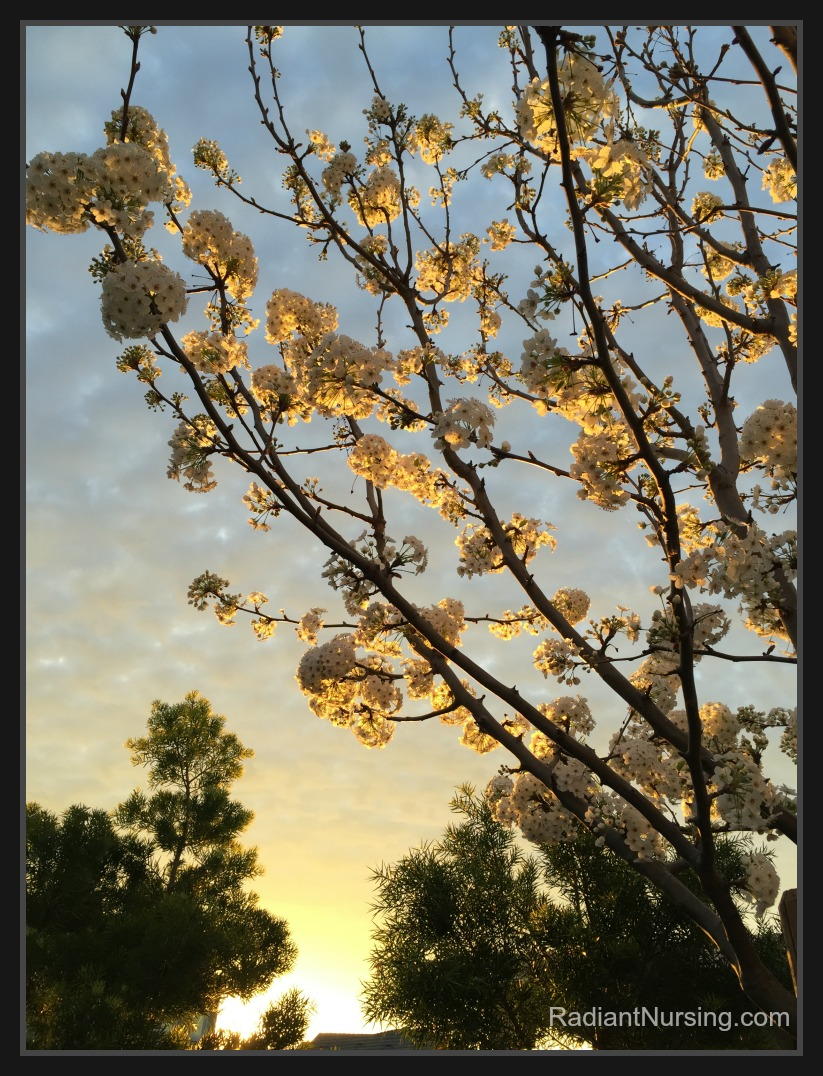 dawn blossoms