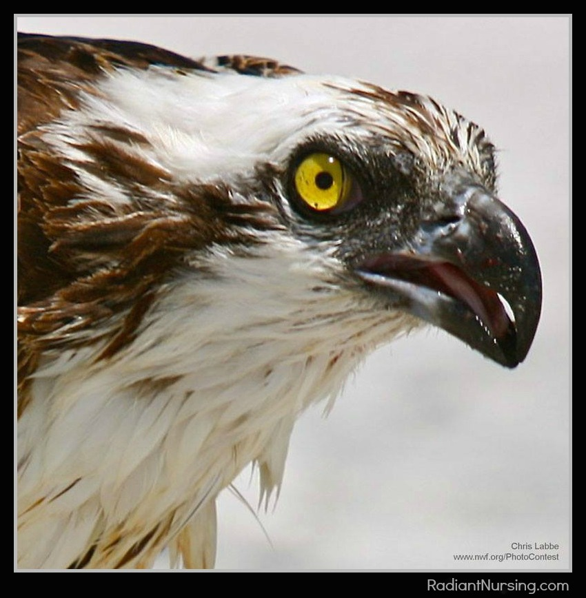 The Seahawks are named after a bird of prey - the osprey.