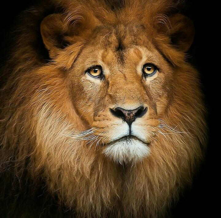 Remembering Cecil the Lion. Help protect the lions of our earth.