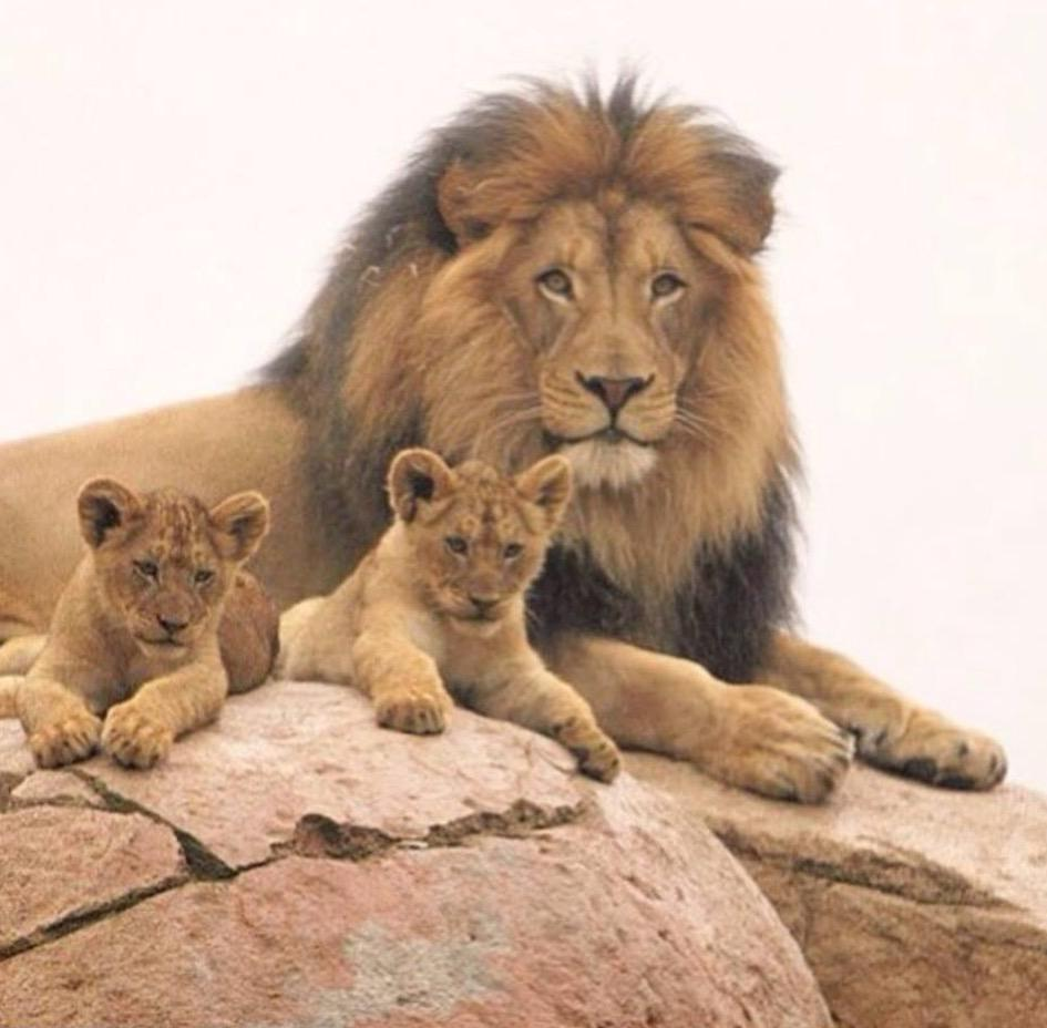 Cecil the Lion with his lion cubs.