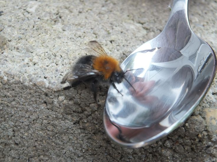 A bumble bee drinking sugar water from a spoon.