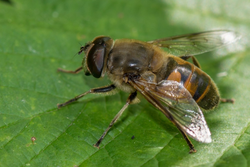 A honey bee on a leaf. Here is a story of a honey bee rescue.