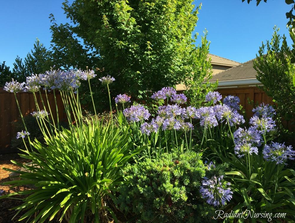 Agapanthus flowers in full bloom in the backyard.