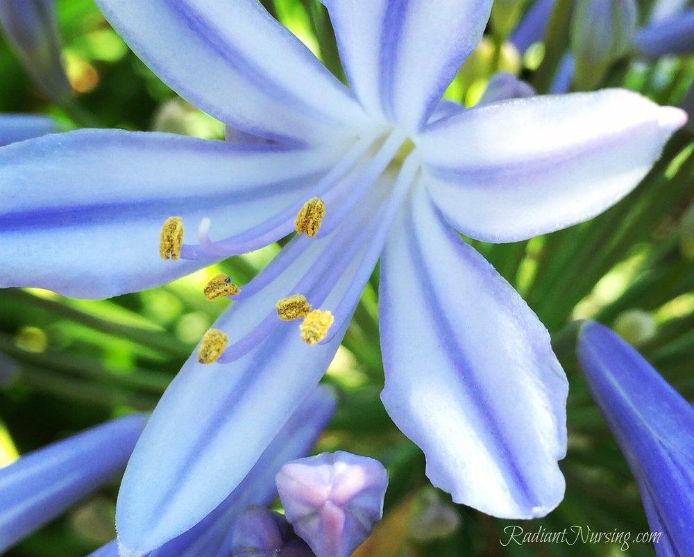 Agapanthus bloom.