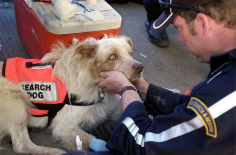 Rescue dog receive subcutaneous fluids to rehydrate after searching for survivors at Ground Zero of 9/11.