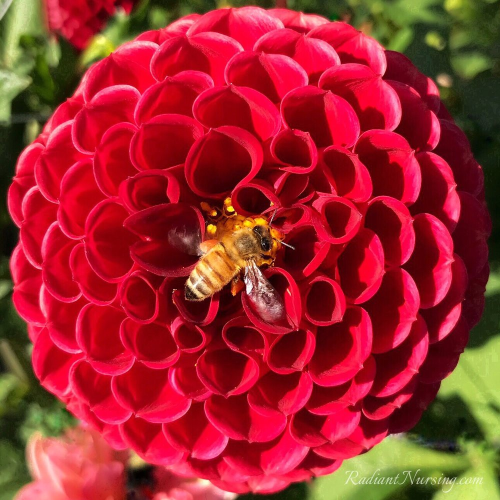 A Dahlia flower visited by a hard-working bee.