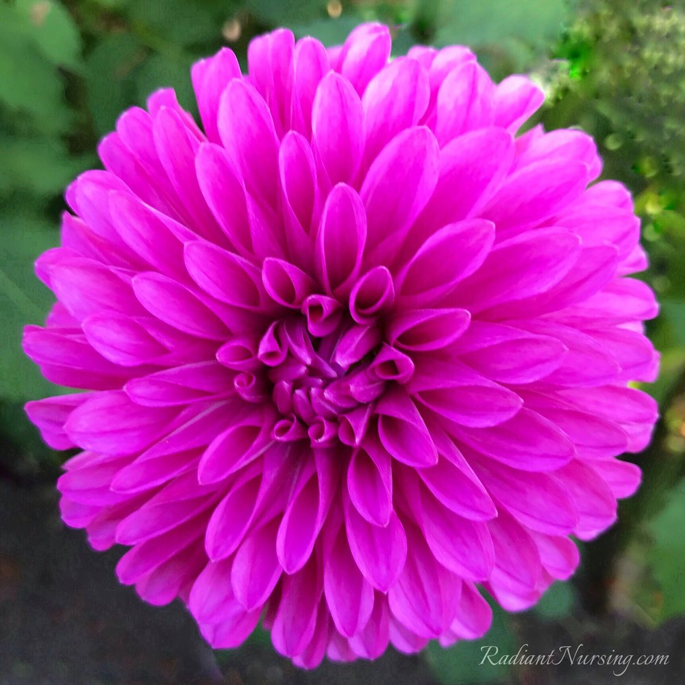 Dahlia flower in a rich fuchsia color.