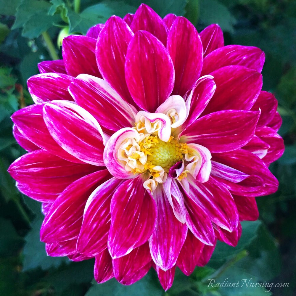 Streaks of white and little swirls at the center of this Dahlia.