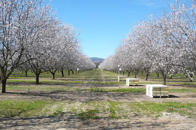 almond groves in California