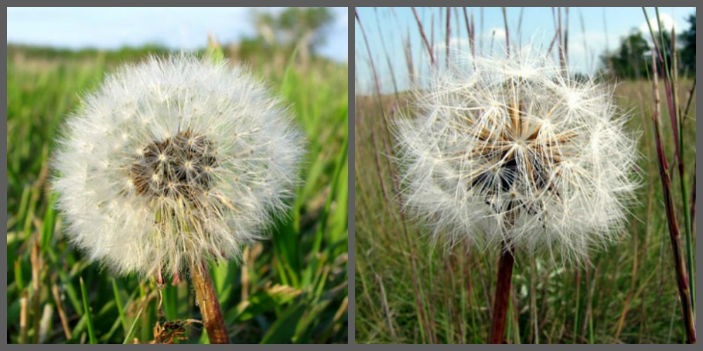 The Eurasian Dandelion on the left and the native prairie plant, the False Dandelion on the right.