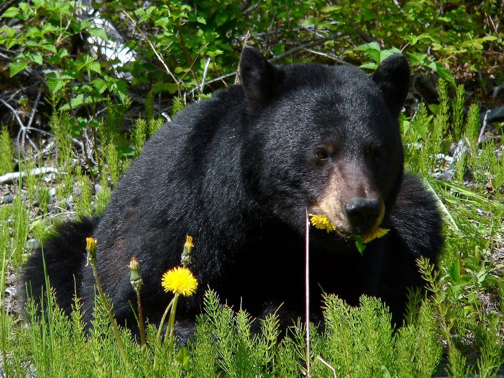 Black bears love dandelions too. To eat!