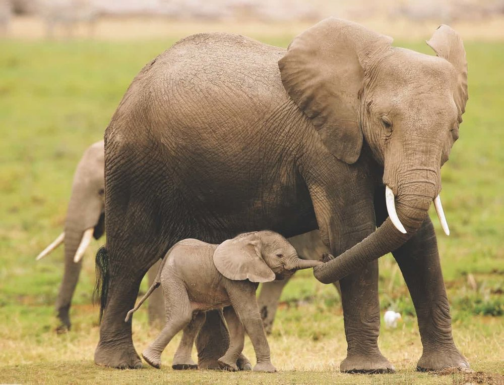 Photograph of a momma elephant and her baby holding trunks.