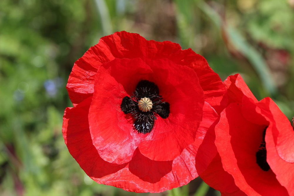 The flower of the common or field poppy Papaver rhoeas, on which the remembrance poppy is based.