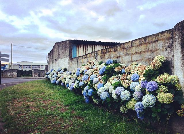 Hydrangeas   All over the island!