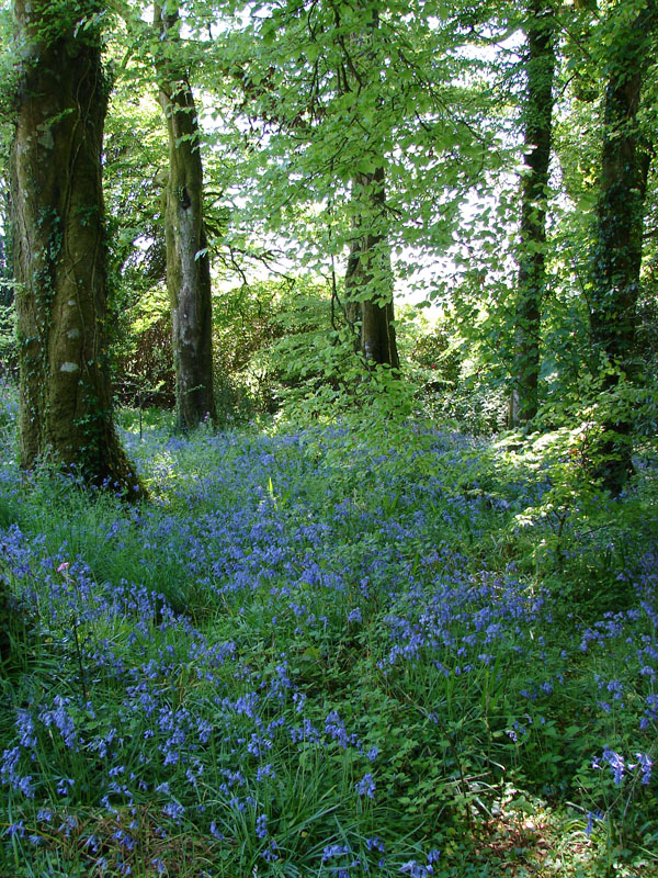 Rookery BlueBell Woods.jpg
