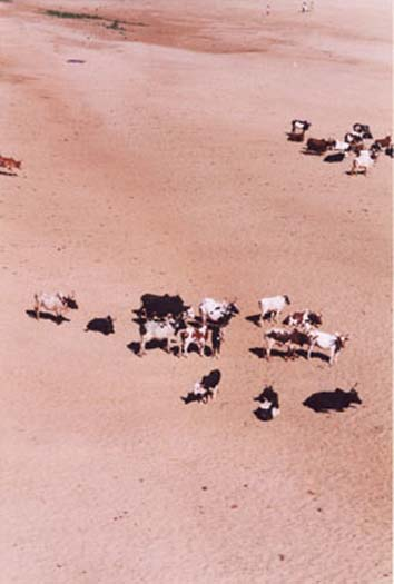Cattle from Bridge.jpg