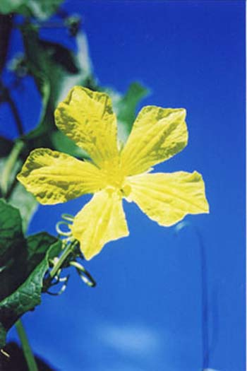 Cucumber Flower.jpg